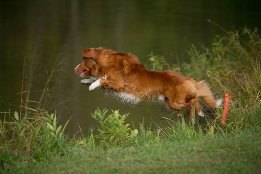 Nova Scotia Duck Tolling Retriever,retriever, toller, dogs, purebred dogs
