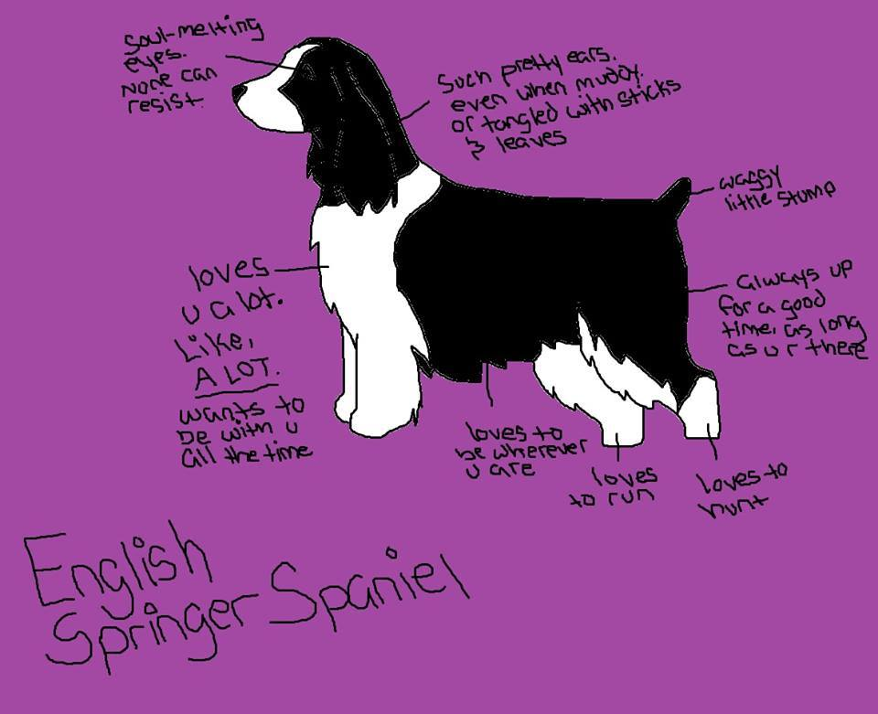 English Springer Spaniel, Mayflower,history, dogs, purebred dogs