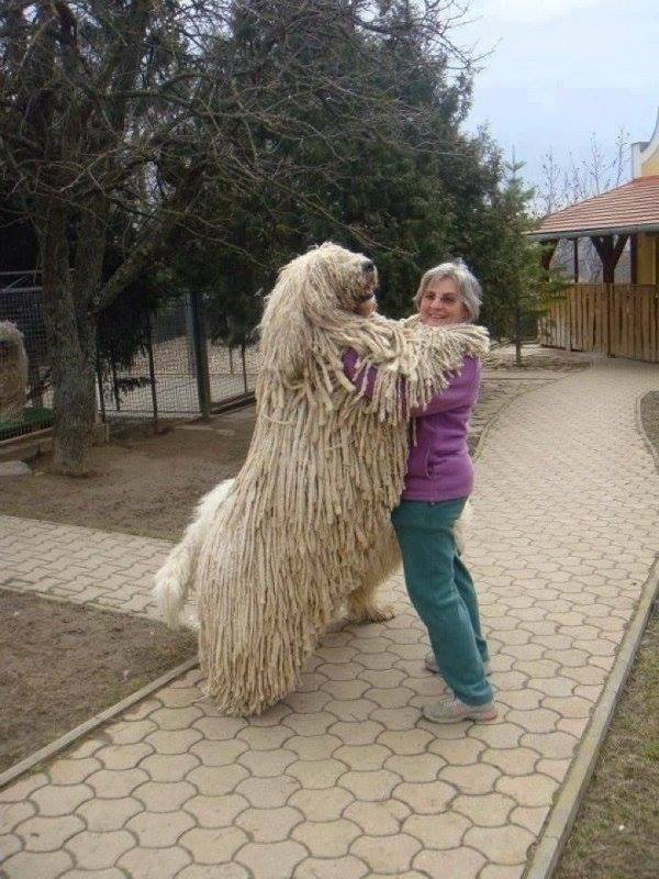 Komondor, Livestock Guardian Dog, Hungarian