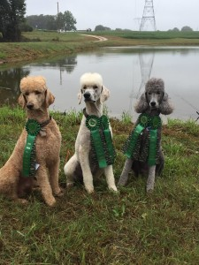 poodles, retrievers, hunting dogs