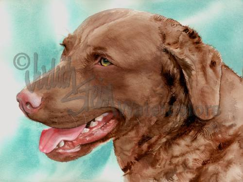 Chesapeake Bay Retriever,Chessie,Retriever,dog, purebred dog