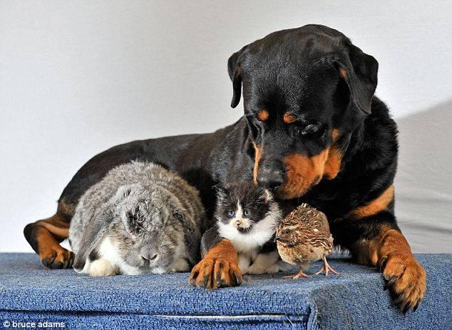 Rottweiler,purebred dog, dog