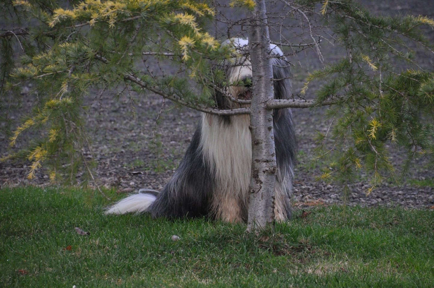 Bearded Collie, Beardie