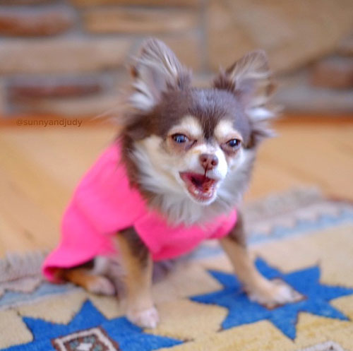 Chihuahua, dog, dogs, purebred dogs