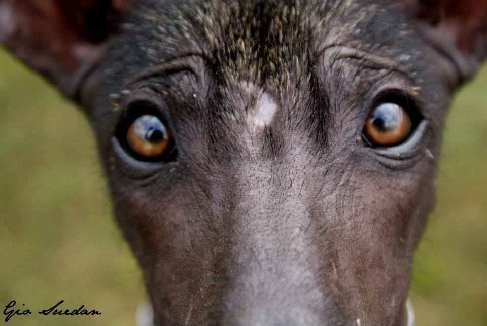 Xoloitzcuintle, dogs, purebred dogs