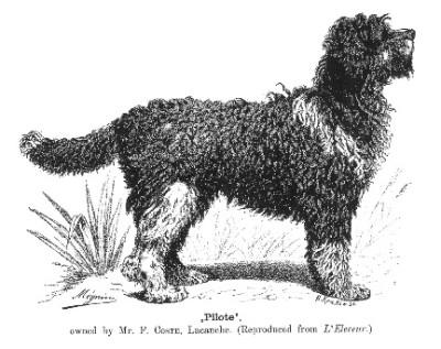 Barbet, dog, purebred dog, water dog