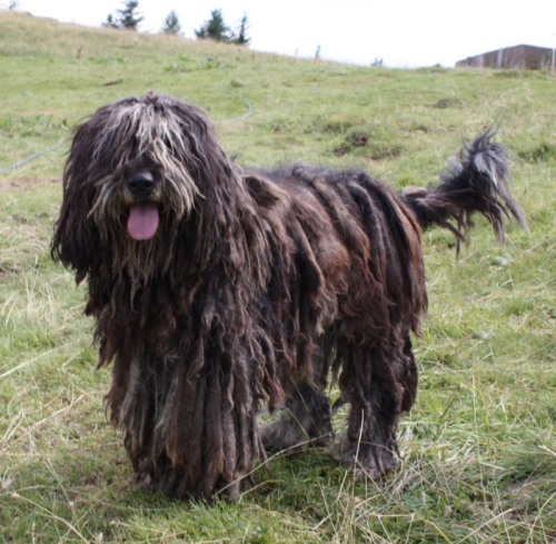 Bergamasco, flock