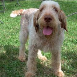 Spinoni Italiano, dog, purebred dog, Italy