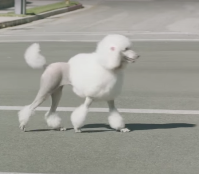 gait, pacing, movement,Poodle,commercial