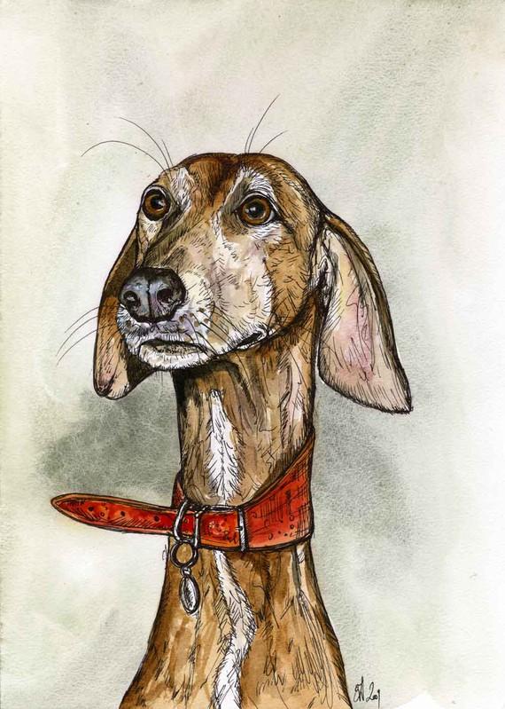 Azawakh,sighthound, purebred dog, dog
