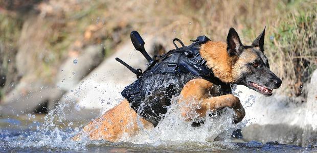 Belgian Malinois, Osama bin Laden, Cairo, military dog, dog, purebred dog