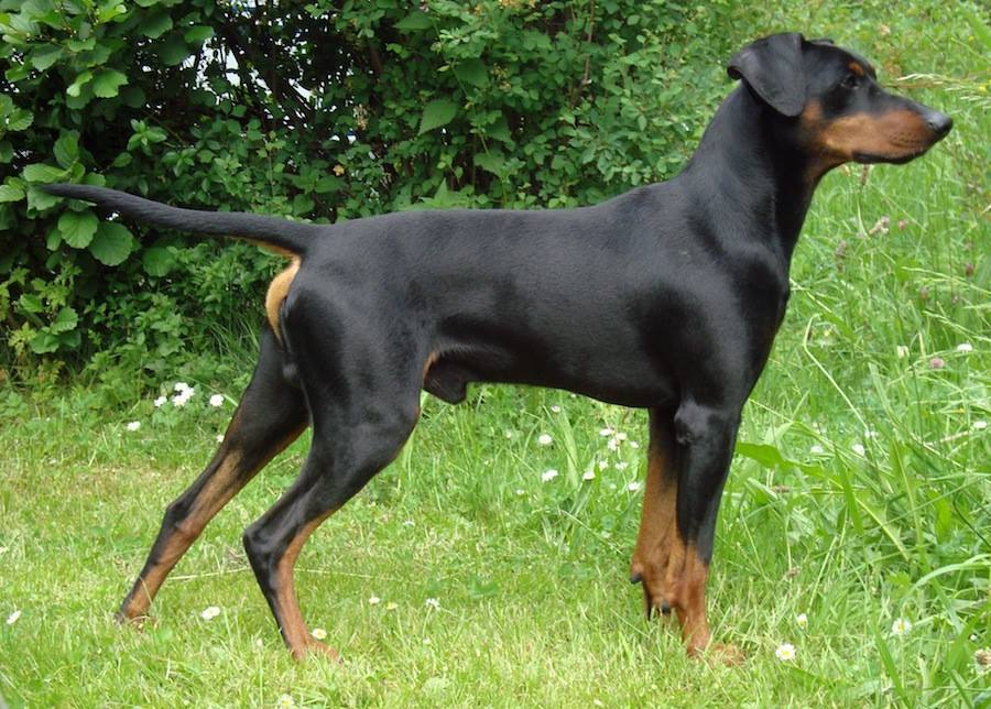 Hellenic Hound, dog, purebred dog, Greek