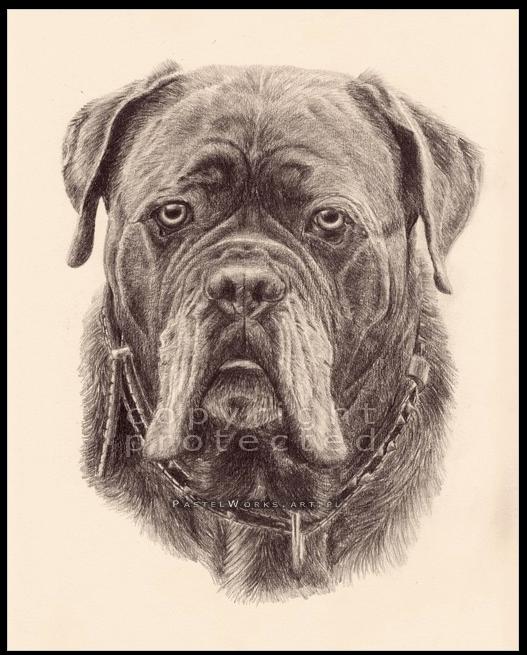 cane corso, purebred dog, italian mastiff