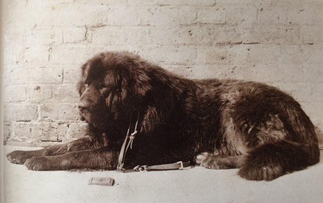 Queen Victoria, Tibetan Mastiff, dogs, purebred dogs