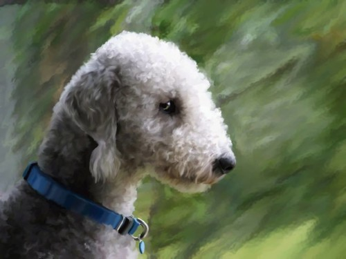 Bedlington Terrier, dogs, purebred dogs, grooming