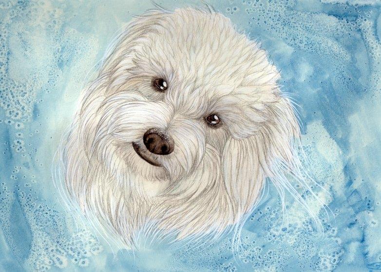 Coton de Tulear, dogs, purebred dogs