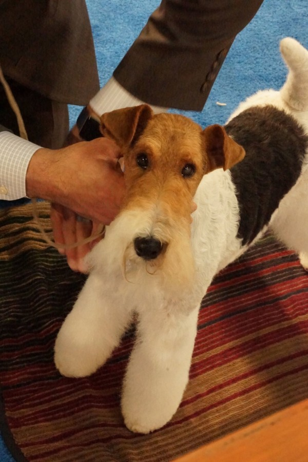 Wire fox Terrier, dogs, purebred dogs, terriers
