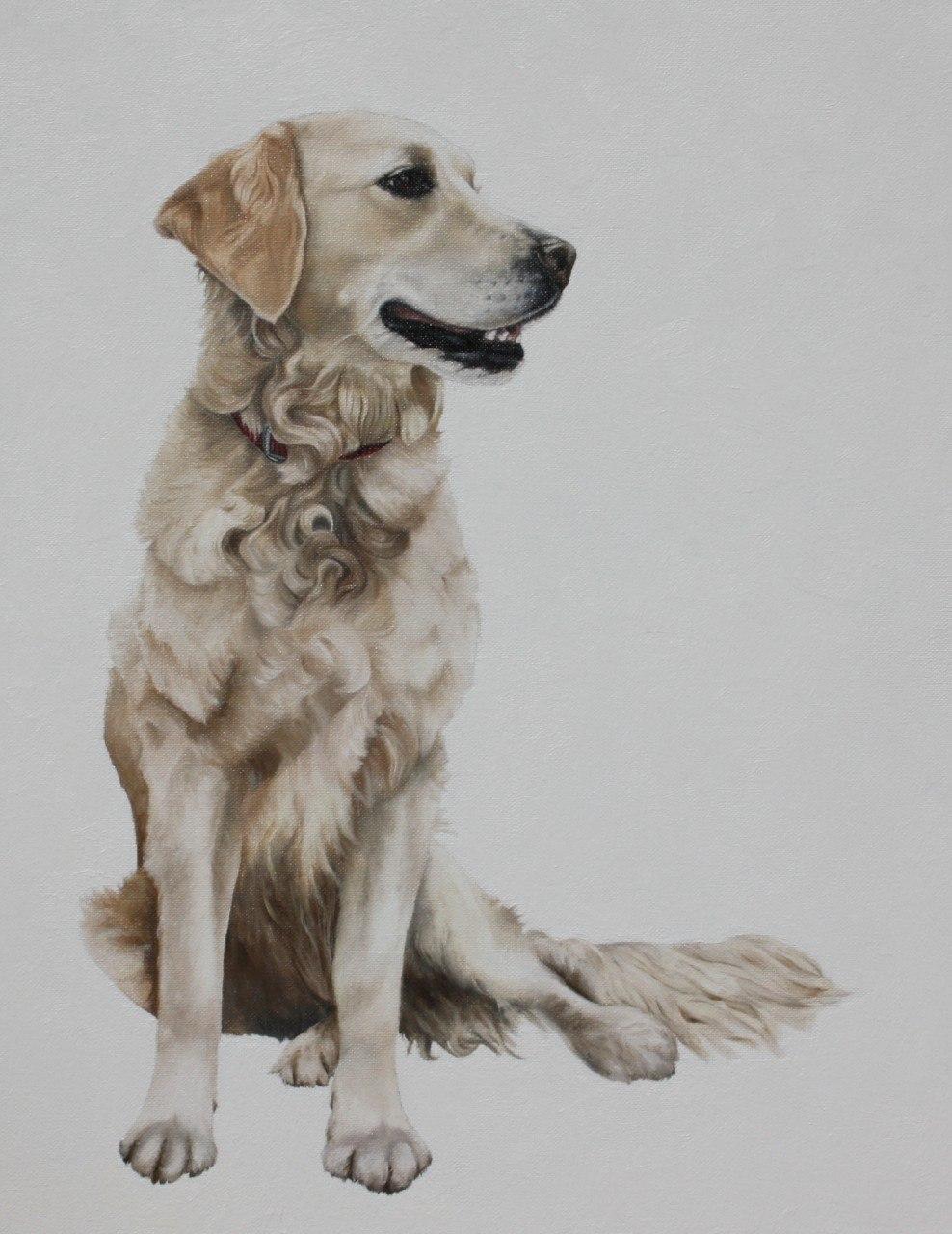 Golden Retriever, flat coated retriever, dogs, purebred dogs,