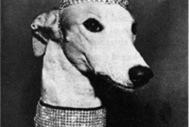Lady Greyhound, Greyhound, dogs, purebred dogs, bus