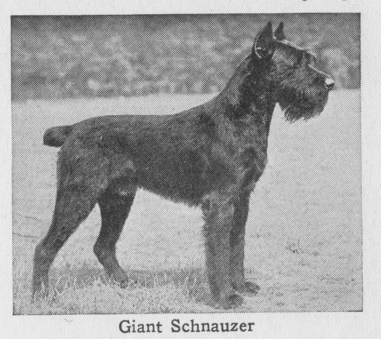 Giant Schnauzer, dogs, purebred dog