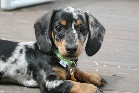 Dachshund, dapple, merle, dogs, purebred dog