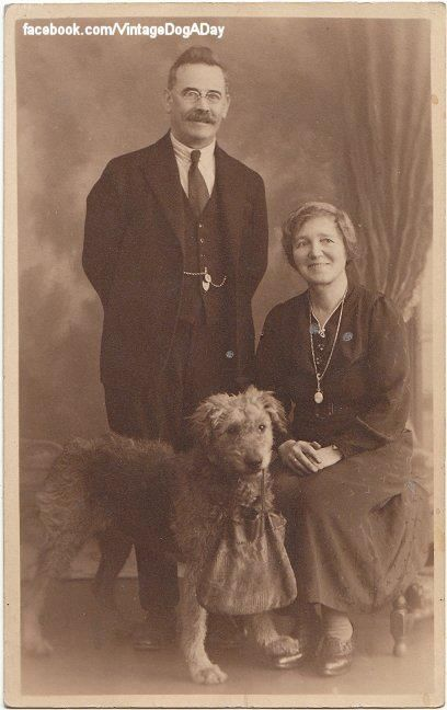 Airedale, terrier, dogs, purebred dogs