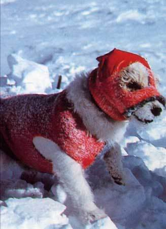 Bothie, Jack Russell Terrier, dogs, purebred dogs, north pole