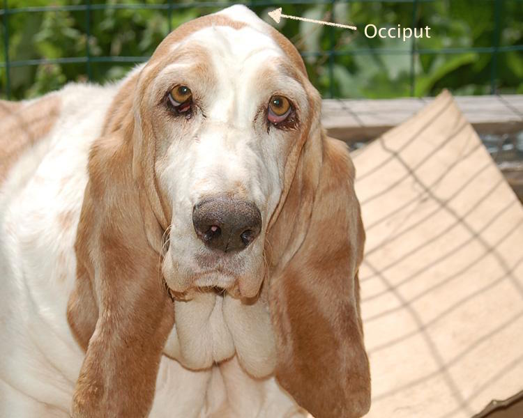 occiput. lemon basset, dogs, purebred dog
