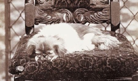 Pekingese,Looty,Dogs,history,Purebred Dogs,toy breed,Queen Victoria
