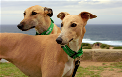greenhound, greyhound, dogs, purebred dogs, new south wales