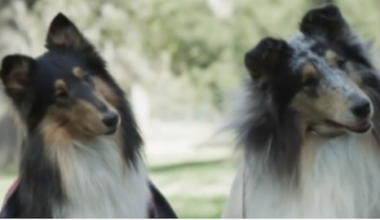 collie, ralph lauren, dogs, purebred dogs