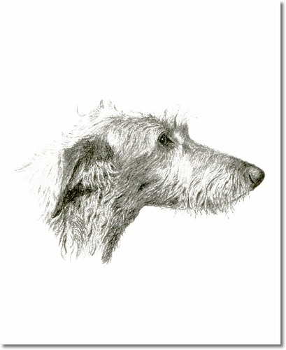 Scottish Deerhound, dog, purebred dog, hound