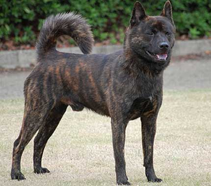 Kai Ken, Japan, spitz, purebred dog, dog