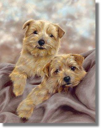 Cantab Terriers,Trumpington Terriers, Norfolk Terrier, terriers, purebred dogs, dog, terrier