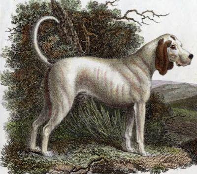 Talbot hound, dogs, beagle, coonhound, bloodhound, purebred dogs