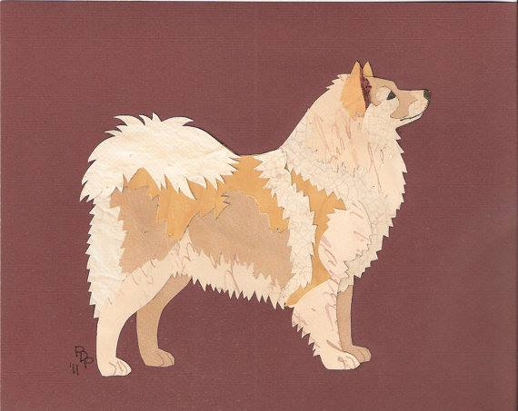Icie, Icelandic Sheepdog, dogs, purebred dogs