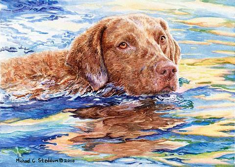 Cheasepeake Bay Retriever, dogs, purebred dogs, retriever
