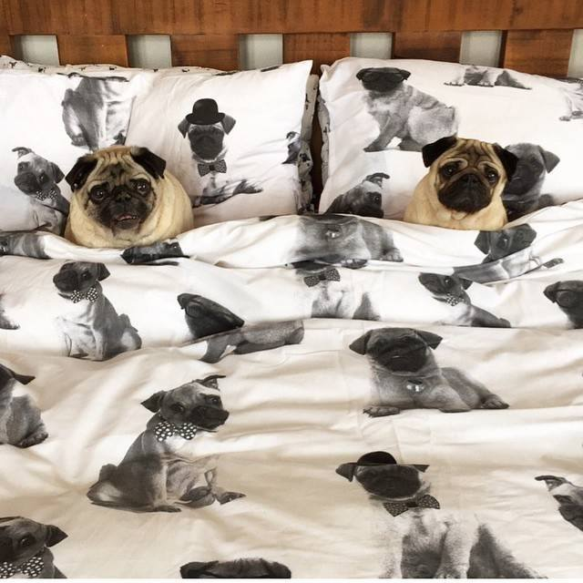 pugs, bed linen, dogs, purebred dogs