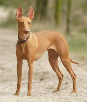 Cirneco dell 'Etna, dog, purebred dog, hound,