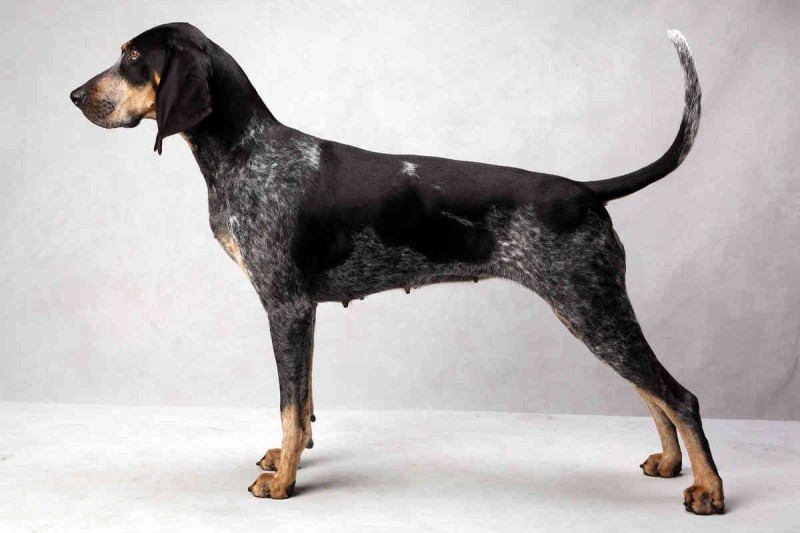 coonhound, Fred R. Conrad,Bluetick Coonhound,dogs, purebred dogs