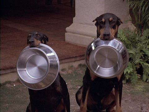 Doberman Pinscher, Magnum PI, dogs, purebred dogs, TV,