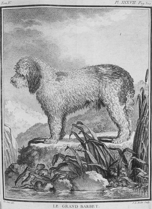 dogs, water dogs, purebred dogs, barbet