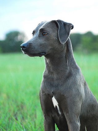 dogs, texas, state dog, blue lacy, purebred dog
