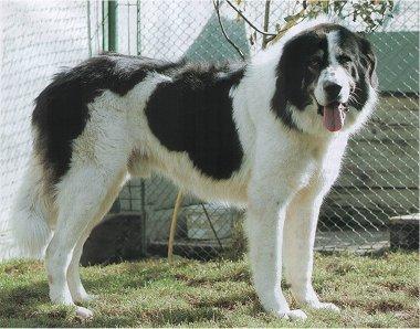 Name this Breed,dogs, purebred dogs, Bucovina Sheepdog, Bucovina Shepherd
