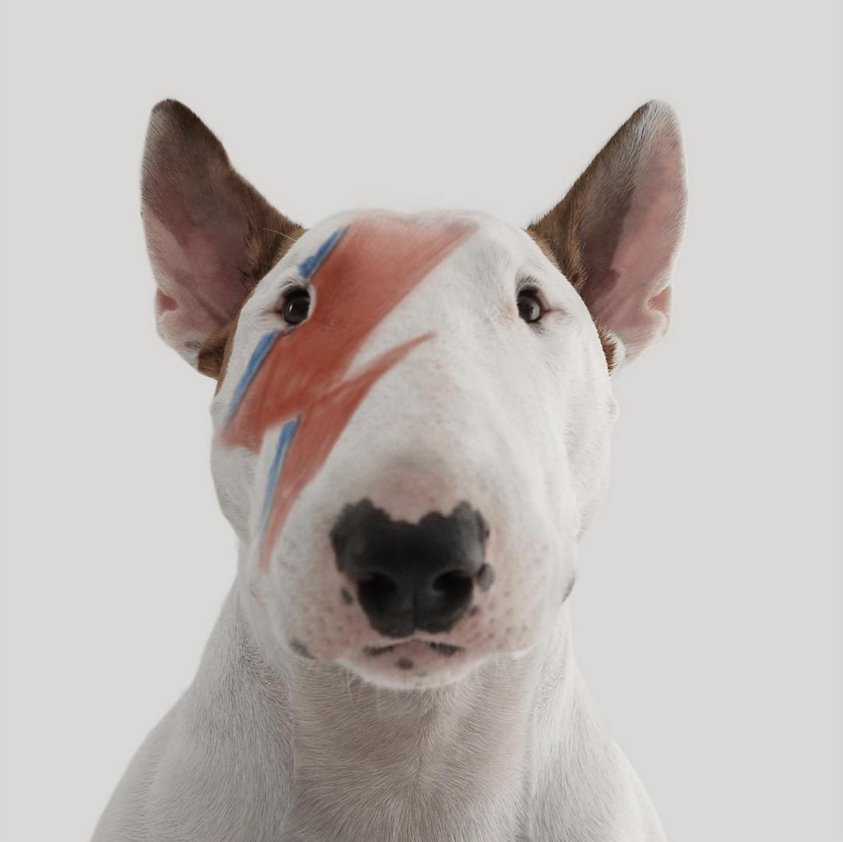 David Bowie,Ziggy Stardust, dog, purebred dog