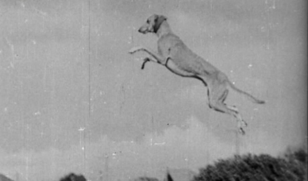 British pathe, jumping greyhounds, greyhounds, dog, purebred dog