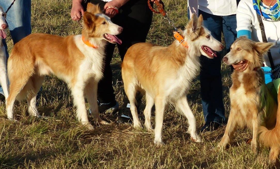 Barrocal Algarvio, dogs, purebred dogs, portuguese