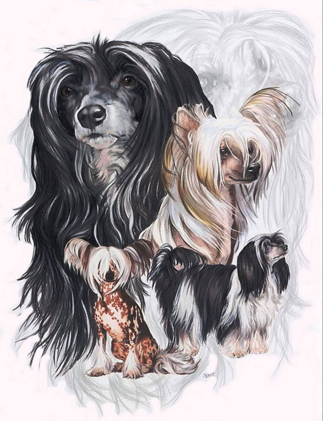 chinese crested hairless, dogs, purebred dogs,