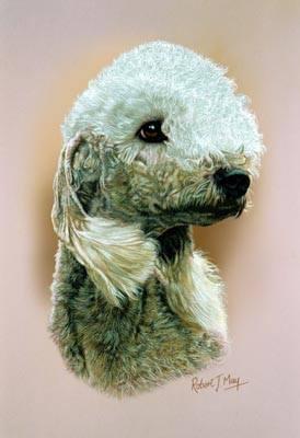 Ear,structure,dogs, purebred dog, Bedlington Terrier, Tassels,Kooikerhondje