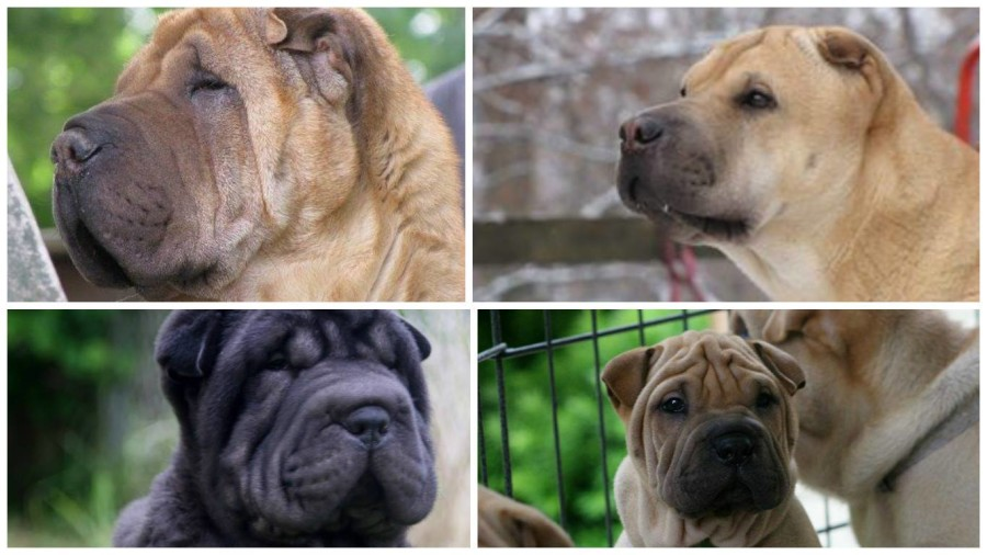 Chinese Shar-Pei,mouth,Meat mouth,bone mouth, dogs,purebred dogs